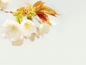 blossom-1207521_1920